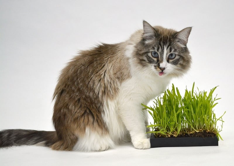 Make your cat happy by planting a cat garden for them to nibble
